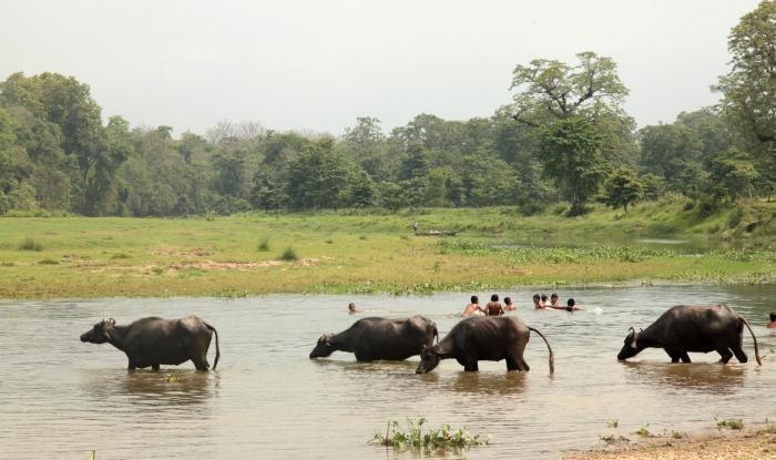 ChitwanJungleBuffalo2016